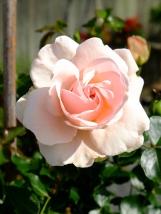 dronning margrethe rose