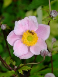 høstanemone med bi