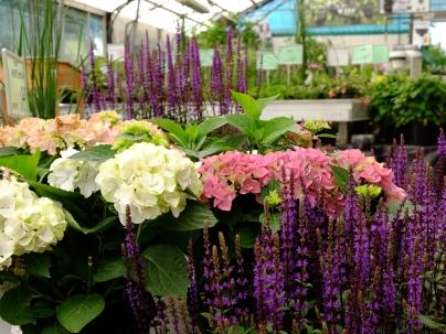 hortensia lavendler