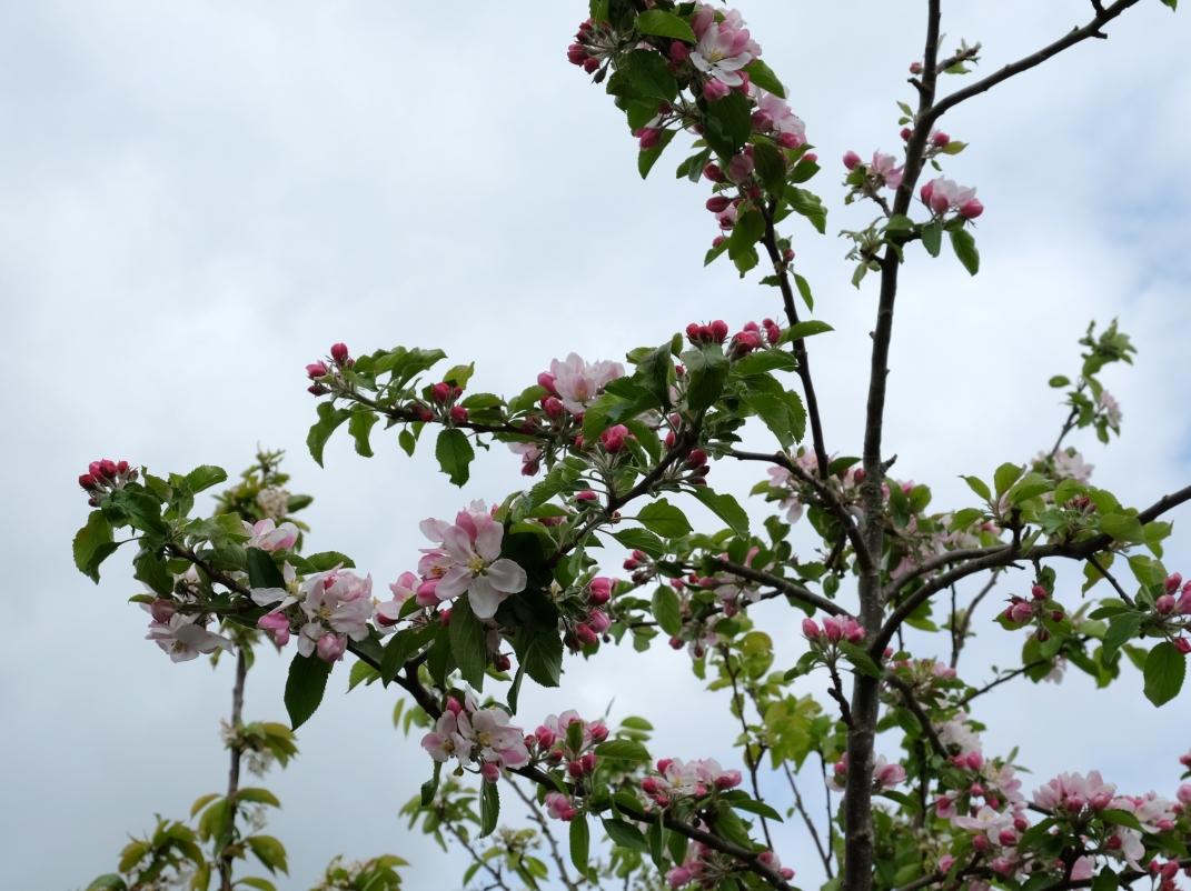 pæretræ