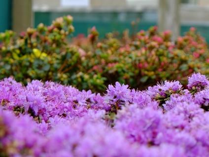 rhodo azalea lilla