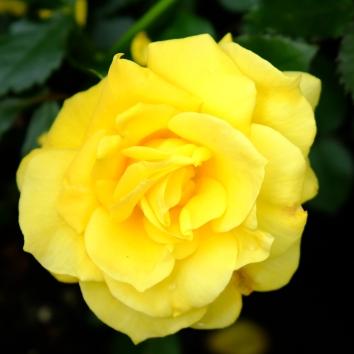 rose gul