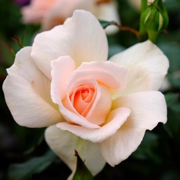 rose lys pink