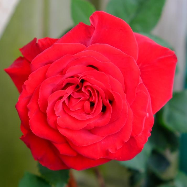 rose rød