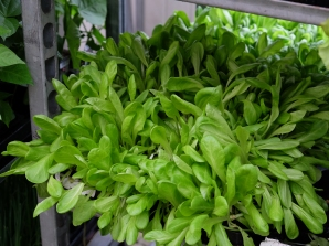 udplantning salat
