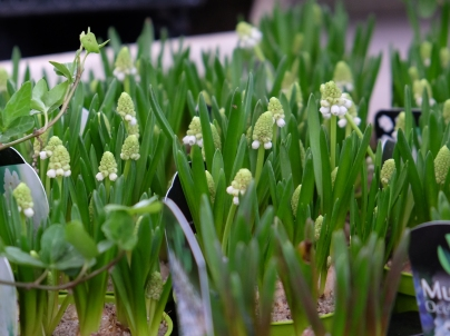 løgplanter-003