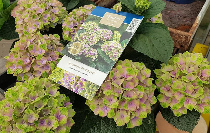 Magical hortensia - Hydrangea Amethyst