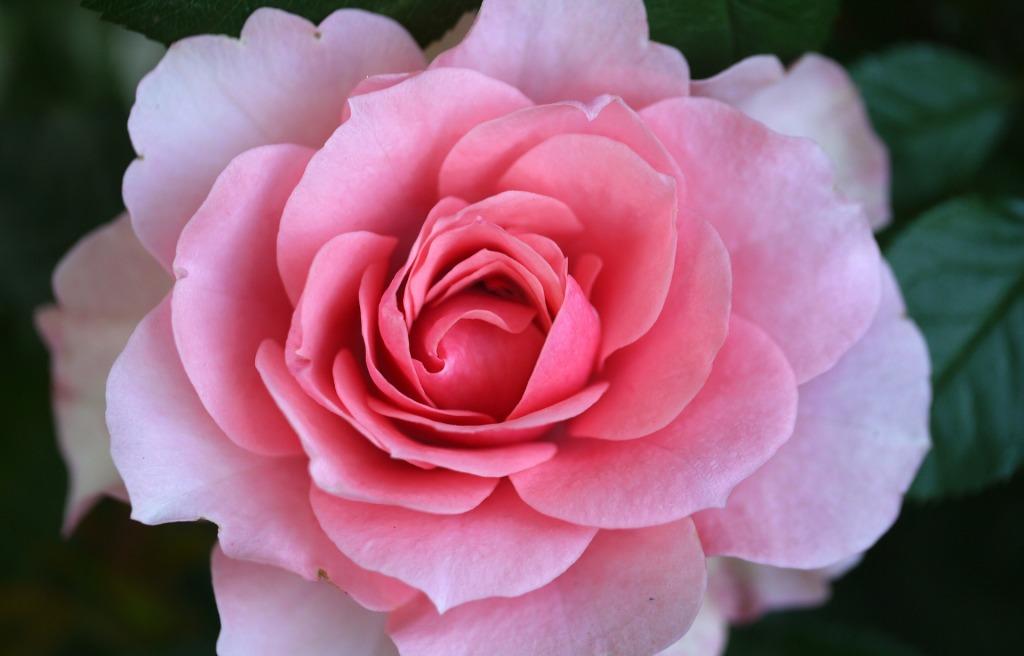 en storblomstrende rose