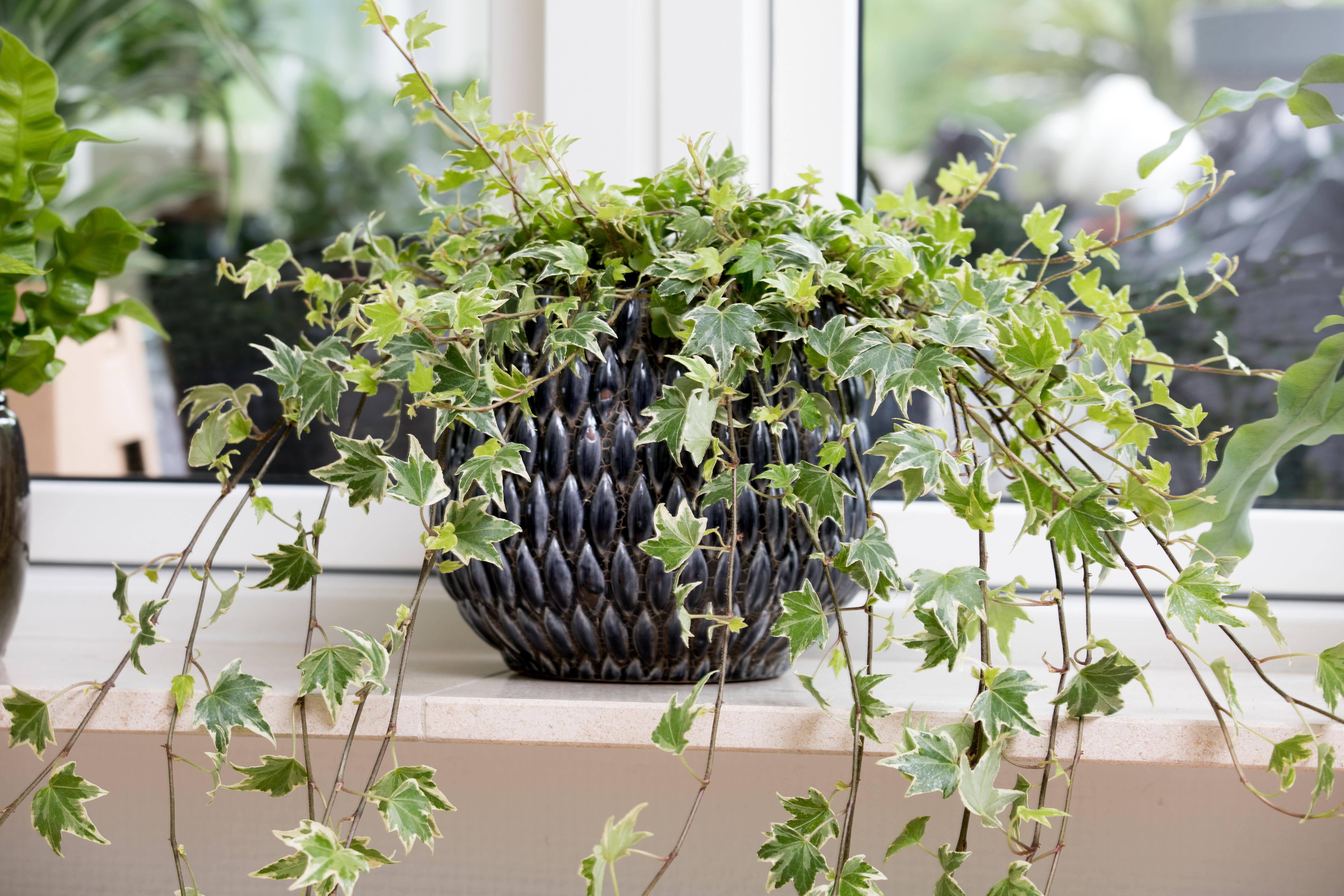 luftensende plante Hedera helix