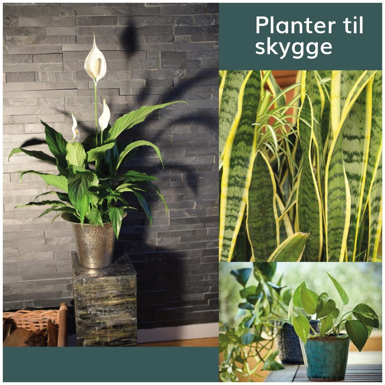 stueplanter der kan tåle at stå i skygge